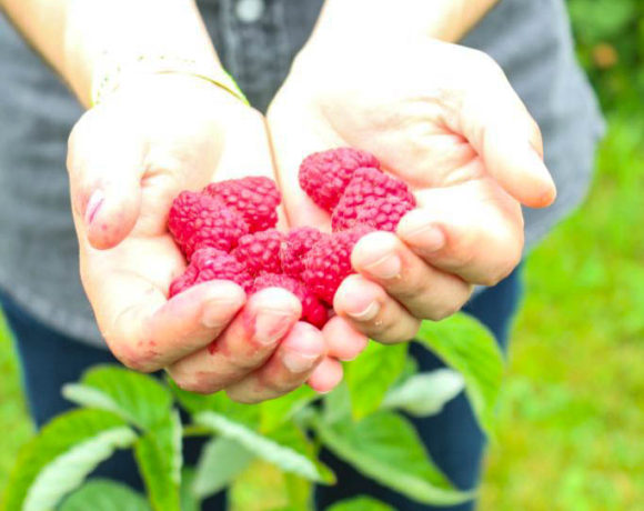 Dose of nature: raspberry picking